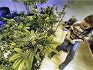 Zaměstnanci obchodů, které dostaly licenci na prodej marihuany, dokončují
