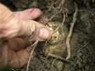 Lanýže jsou houby, které se nedají pěstovat, rostou jen divoce, ve volné...