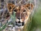 Asi destim�s��n� lev vykukuje z bu�e v rezervaci Yankari Game v z�padoafrick�...