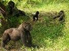 I gorily odchované v zajetí se dokážou naučit žít v pralese.