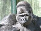 Stříbrohřbetý Djala se narodil v Africe, ale celý život strávil v Port Lympne v...