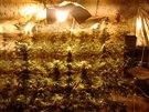 P�i z�tahu policist� zajistil v�ce ne� 300 rostlin konop� v celkov� hodnot� 2...