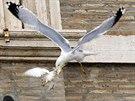 """Papež vypustil """"holubice míru"""", k zemi je poslali racek a vrána šedivka (26...."""