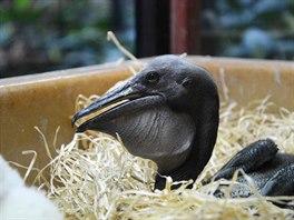Odchov mláďat pelikánů v dvorské zoo