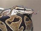 Nejdelší had v Buchmanově domě měl tři metry (30. ledna 2014)