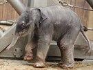 Slůně narozené v ostravské zoologické zahradě se teprve rozkoukává. (4. února...