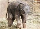 Sloní holčička z ostravské zoologické zahrady začala pít alespoň mléčnou...