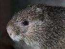 Řekomyš africká neboli pralesní krysa dorůstá až šedesáti centimetrů a váží až...