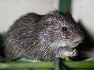 Pralesní krysa chovaná na farmě by mohla uspokojit chuť Kamerunců na bushmeat.
