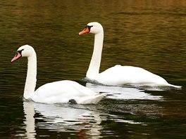 Na klidných úsecích řeky můžeme i v lednu vidět labutě.