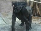 Jestli gorily nosí přepravku na hlavě, aby i s ní mohly chodit po čtyřech, a...