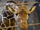 Žirafí samec Marius.