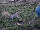 Žebrající veverky v londýnském parku Hyde Park