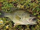 Tato ryba se mimochodem vyskytuje i v našich vodách.