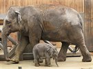 Třítýdenní slůně z ostravské zoologické zahrady se svou matkou Vishesh. (26....