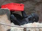 S bedýnkami si hrávala už Moja, první gorilí mládě narozené v Zoo Praha.