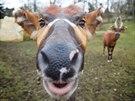 antilopa bongo,