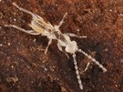 Larva dosud neznámého druhu drobnělky, který objevili na Borneu badatelé z...