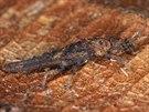 Jedinec dosud neznámého druhu epigeické strašilky, který objevili na Borneu...
