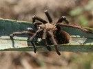 Sklípkani a jedovatí škorpioni způsobují každý rok několik stovek úmrtí.