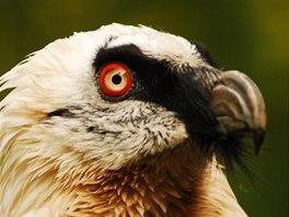 Jeden z orlosupů bradatých, které chová Zoo Ostrava.