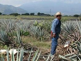 Pole plné agáve, ze které se připravuje slavná pálenka tequila.