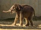 Pětitýdenní sloní samička se v pondělí poprvé prošla po venkovním výběhu.