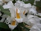 Studenomiln� orchidej, kterou s oblibou p�stovaly na�e babi�ky. ��kaly j�...
