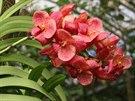 Hybridn� orchideje p�edp�stovan� v Thajsku a dop�stovan� v Holandsku pat�� k...