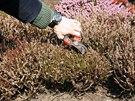 U vřesu (rod Caluna) sestřihněte zachlé drobné květy z loňského podzimu.