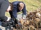 Tomáš Vencálek vysvětluje, že u velkokvětých hortenzií není radikální řez na...