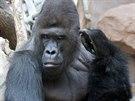Richard s oblibou čistí uši nejen samicím, ale i sám sobě.