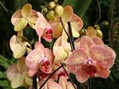 Jeden z nejnov�j��ch hybrid� druhu Phalaenopsis, kter� m�ete bez probl�m�...