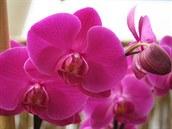 Phalaenopsis, syt� r�ov� kultivar