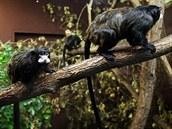 Nově sestavená skupina - jednoho samce a dvou samic - tamarínů běločelých....