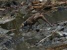 Záchranářský pes prohledává trosky po sesuvu půdy v americkém státě Washington...