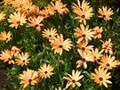 Ze semínek vypěstujete i dvoutvárku oranžovou (Dimorphotheca sinuata)