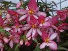 U begonií máte na výběr z celé řady kultivarů (Begonia Chanson).
