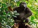 Gorily n�inn� ve voln� p��rod� ohro�uje p�edev��m �bytek p�irozen�ho prostoru...