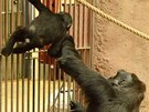 Kamba radí u mříže ročnímu Nuruovi.