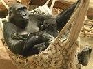 Odpočinek po vyčerpávajícím enrichmentu: samice Kamba trpělivě kojí ročního Nurua.