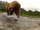 Medvědi grizzly se na Aljašce zajímali o kameru GoPro.