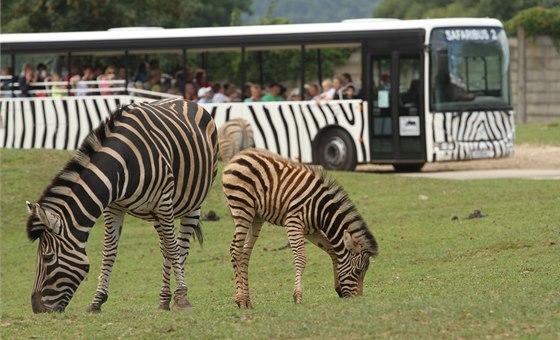 Safariexpres projíždí mezi volně se pasoucími zebrami.