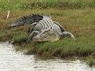 Krokodýli představují pro australské farmáře problém, žerou jim zvířata.