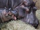 Hroší sameček se má k světu. Narodil se loni v červnu, dostal jméno Kvido a většinu času tráví poblíž rodičů.