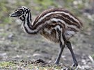 Emu hn�d� je nejv�t��m nel�tav�m pt�kem na sv�t�. Odmali�ka se krm� s�m. Pozor...