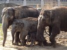 Mimo��dn� sn�mek. V�echny slon� samice na vych�zce. Zleva Johti, rashmi,...