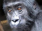 Zatím posledním zachráněným mládětem je Kalonge, sameček gorily východní,...