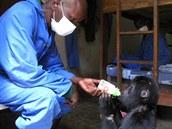 Kalonge dostal po příjezdu do Senkwkwe od ošetřovatelů plnou lahev mléka.