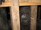 Afangui v kleci v restauraci v Rovníkové Guineji.